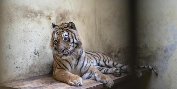 Pologne : sauvetage de neuf tigres
