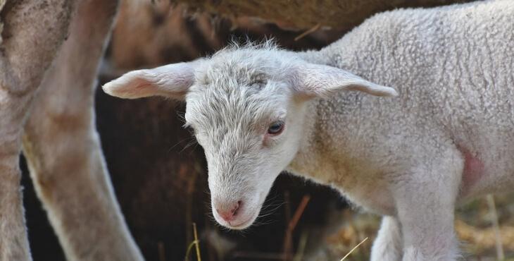 Roquefort : le calvaire des agneaux