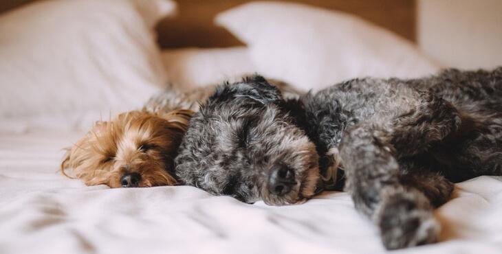 Deux tiers des propriétaires d'animaux dorment avec leur compagnon