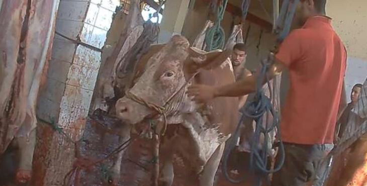 Union Européenne : maltraitance d'animaux exportés