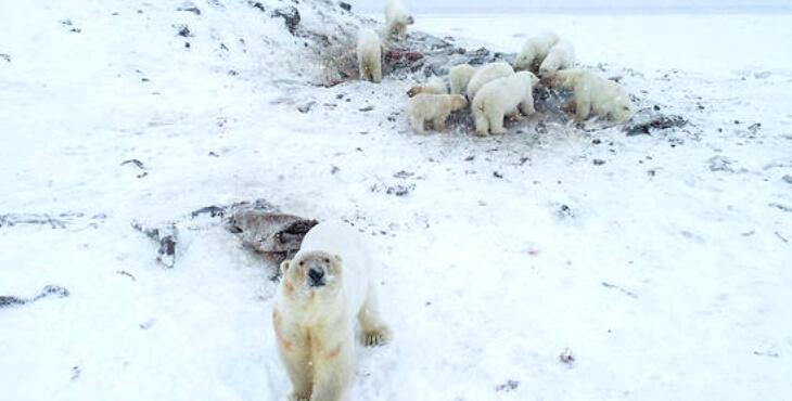 Russie : une soixantaine d'ours blancs nourris par un village