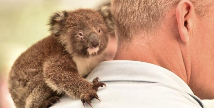 Australie : cette île a perdu près de 40 000 koalas