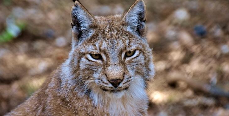 Haut-Rhin : un lynx abattu