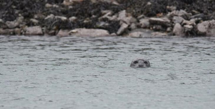 Bretagne : un phoque dans le port de Saint-Malo