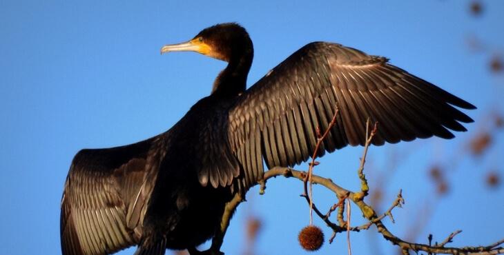 Haute-Loire : l'abattage des cormorans illégal