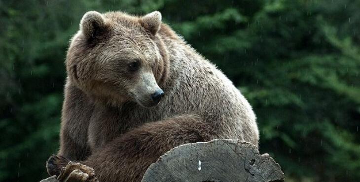 Ours tué : les chasseurs menacés