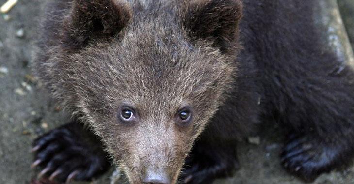 Pyrénées: 7 oursons recensés