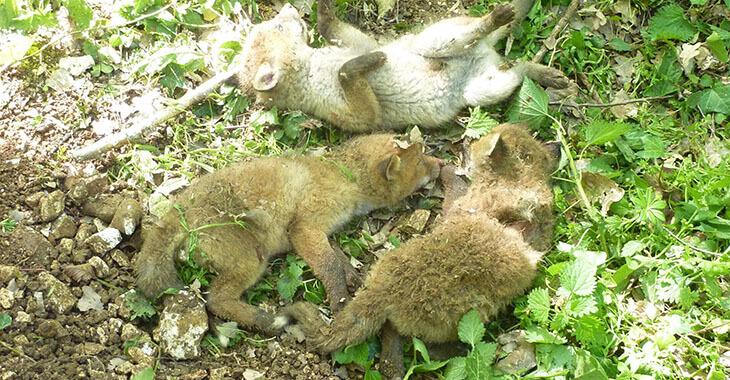 One Voice : non à la chasse aux renards