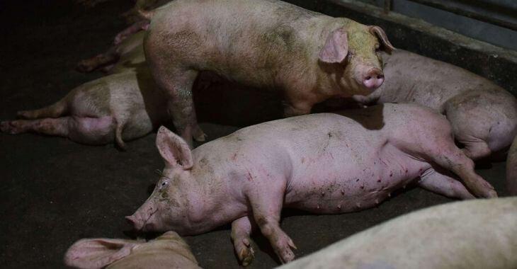 Nouvelle grippe porcine venue de Chine ?