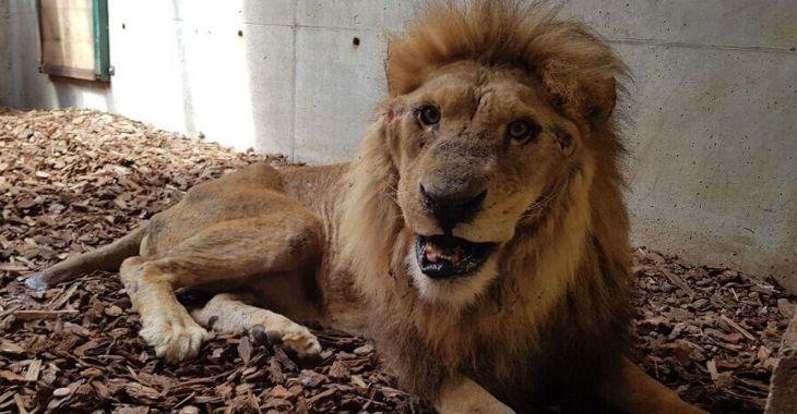 Des nouvelles du lion Jon