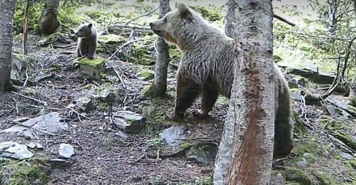 Pyrénées : une ourse et ses oursons filmés