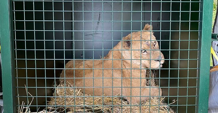 Maltraitance : 4 lionnes saisies