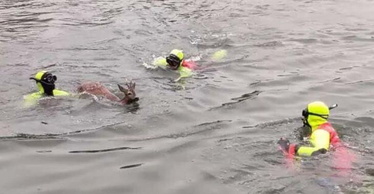 Nord : sauvetage d'un chevreuil
