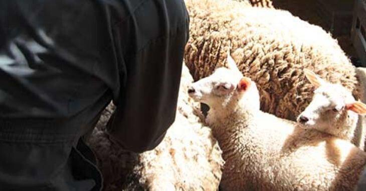 Orne : plus de 200 moutons sauvés