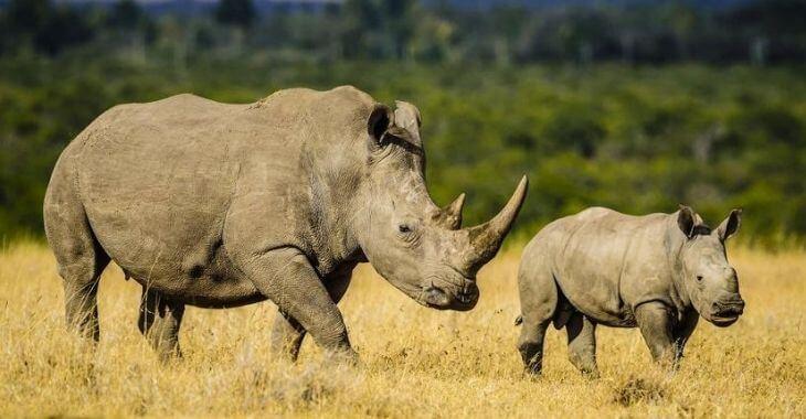Afrique du Sud : deux fois moins de rhinos tués en 2020