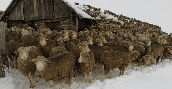 Savoie : sauvetage de 6000 moutons