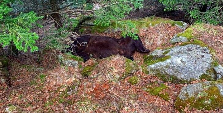 Mort de l'ours Cachou : un homme arrêté