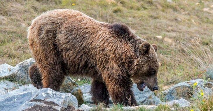 Mort de l'ourse Sarousse : l'avancée de l'enquête
