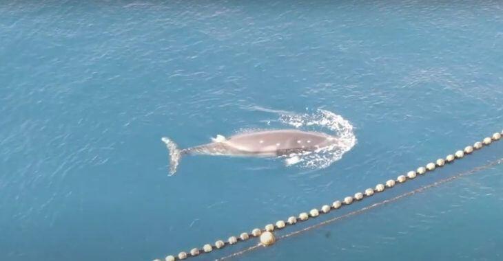 Japon : une baleine noyée