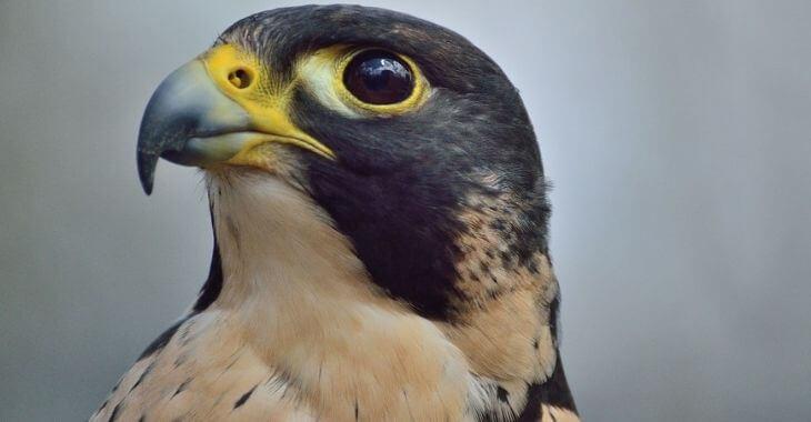 Lot : mort d'un faucon pèlerin