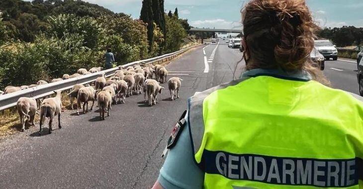 Vaucluse : des moutons en divagation sur l'autoroute