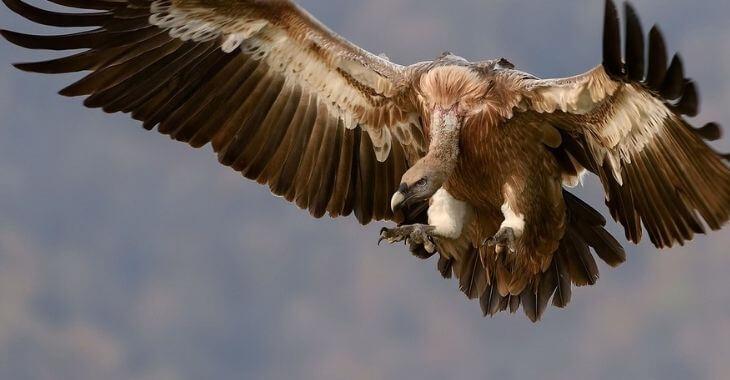 Aveyron : débats autour des attaques de vautours
