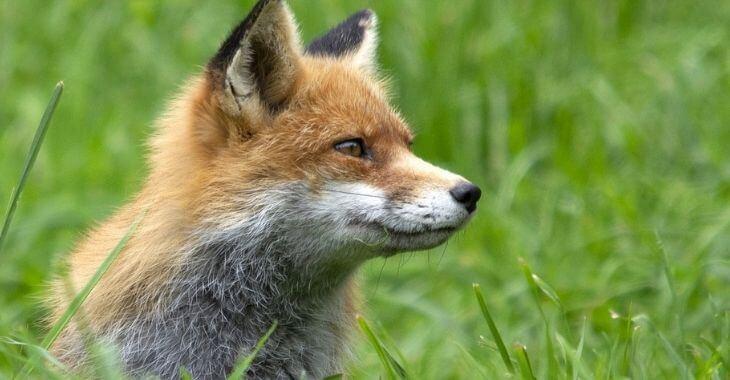 Yvelines : mobilisation pour une famille de renards