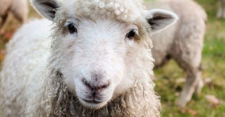Nantes : deux moutons égorgés