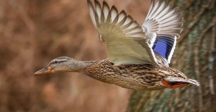 Belgique : des oiseaux menacés par des chasseurs
