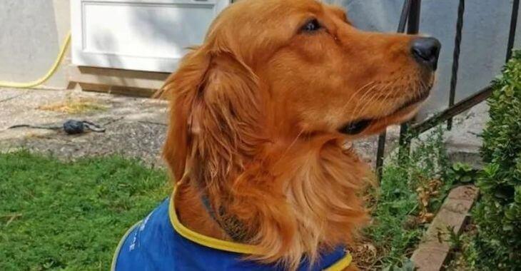 Haut-Rhin : premier chien renifleur de covid