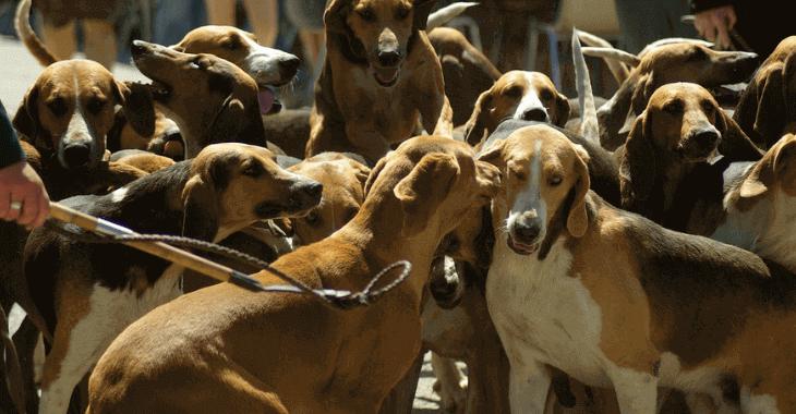 Côtes-d'Armor : interdiction de la chasse à courre ?