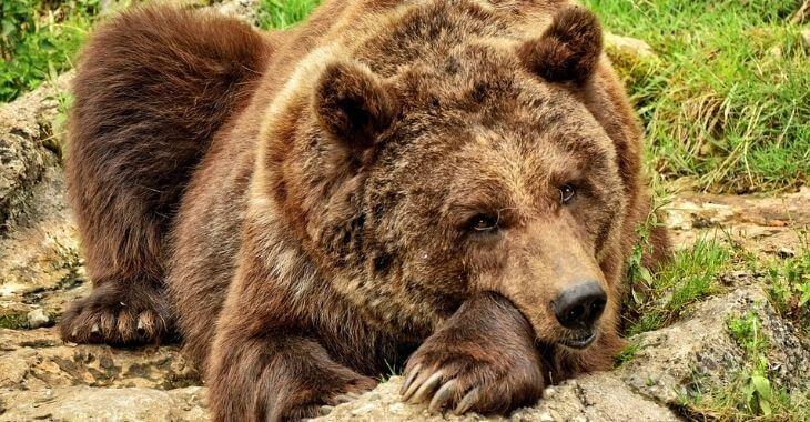 Pyrénées : légitime défense dans l'affaire de l'ourse Sarousse