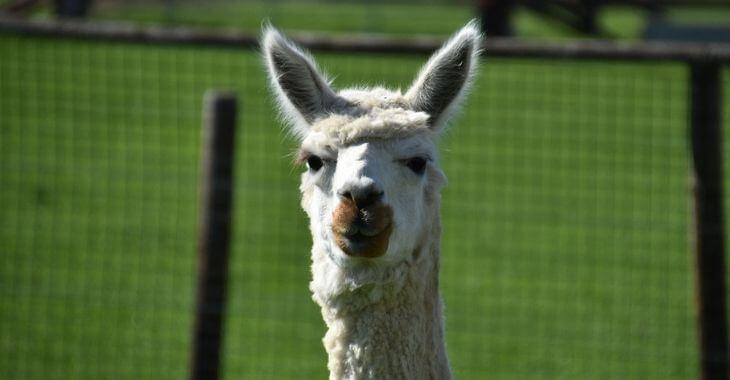 Drôme : deux lamas empoisonnés